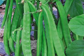 蔬菜种子栽培技术-<strong>刀豆栽培技术</strong>