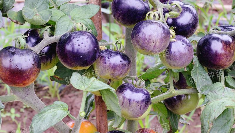 北美紫艳果实开始转成紫色