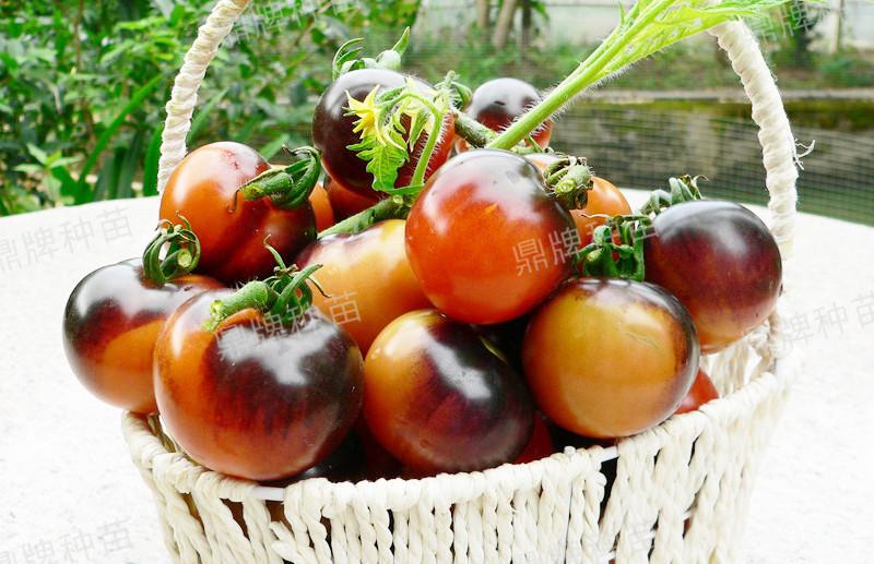 北美紫艳果实成紫红色,甜度增加