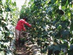 蔬菜种子种植户种植心得-优秀丝瓜作品展播午夜协和影视,请为菜农刘健平夫妇点赞
