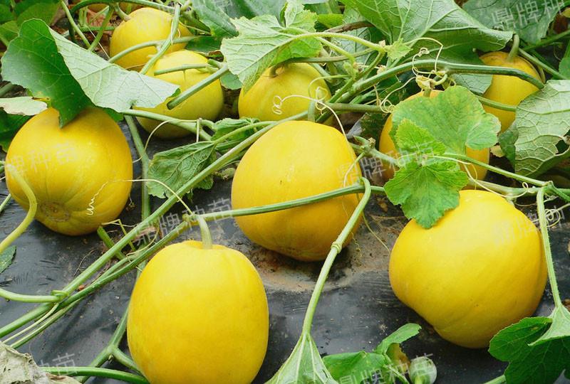 蔬菜种子栽培技术-甜瓜露地栽培技术