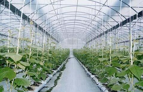 蔬菜种子栽培技术-甜瓜棚室栽培技术要点